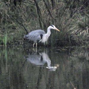 Bird Watching 2016-04-12 Pennington Flash-3