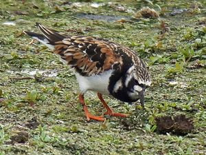 Turnstone at Woolston Eyes by Graham Cawdell